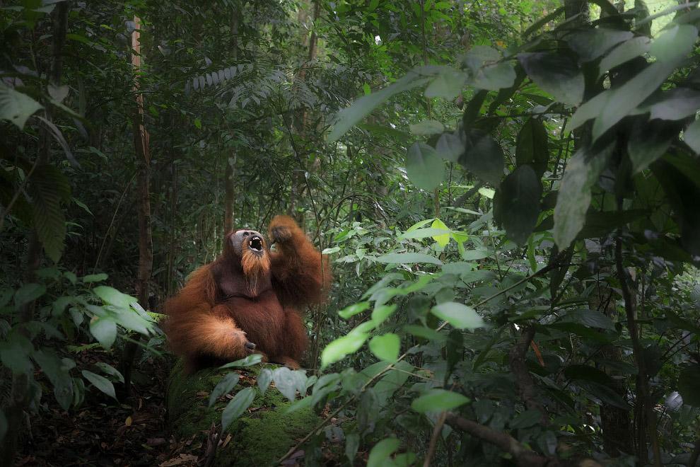 Дикий суматранский орангутан