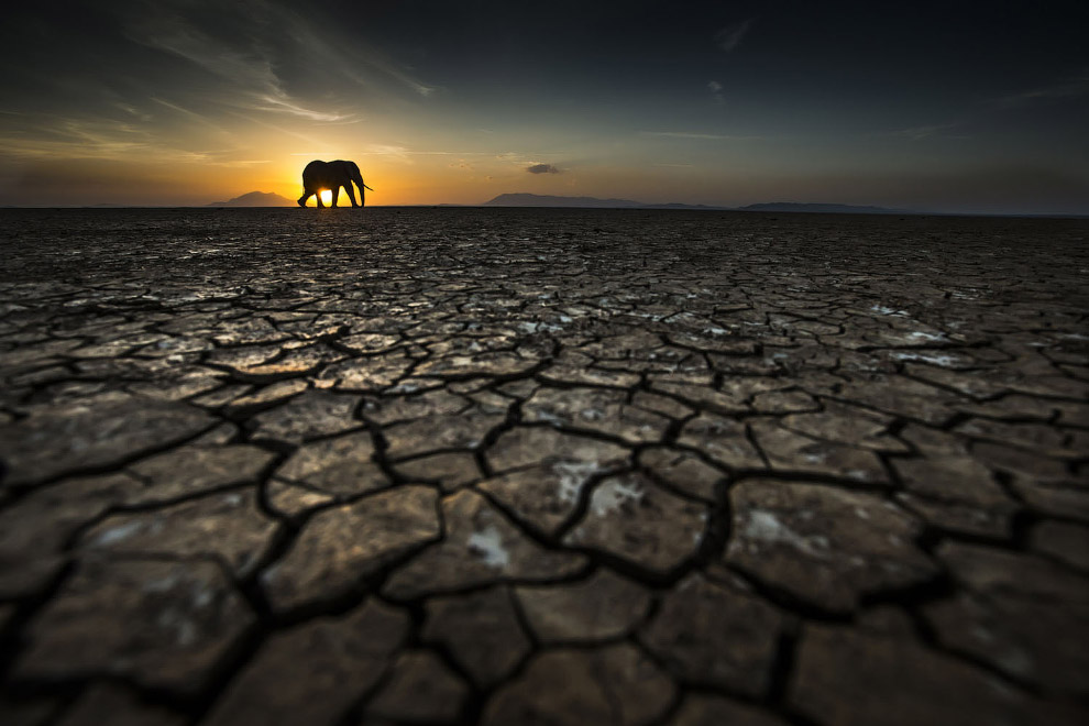 Слон во время засухи в парке Амбосели, Кения