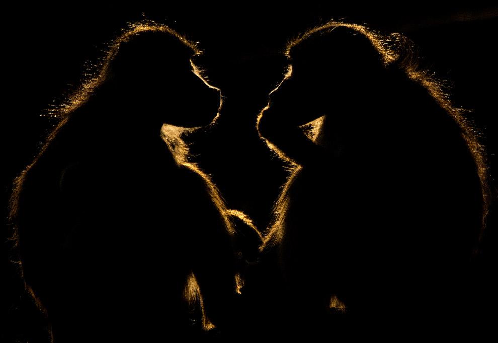 Бабуины на река Чобе в Ботсване