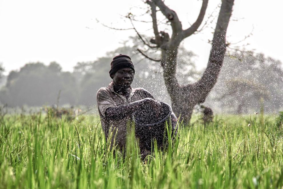 Фермер на рисовому полі в північній Гані