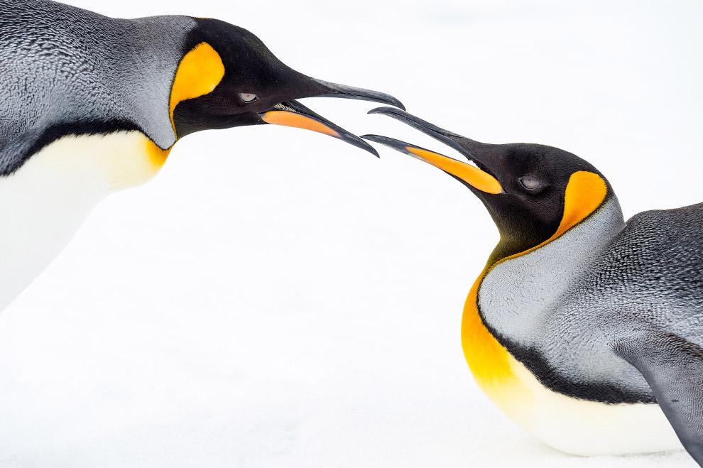 Королівські пінгвіни, Південна Георгія