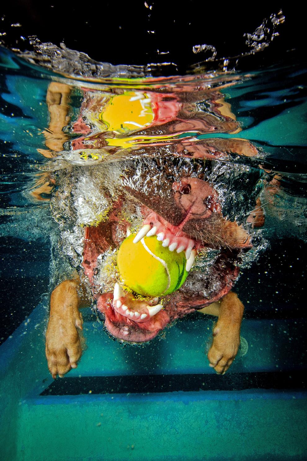 Пагль — порода декоративных собак, полученная от смеси бигля и мопса