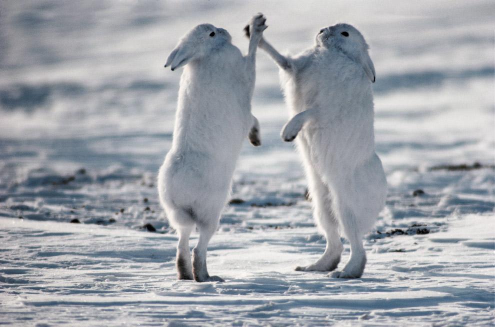 Зайцы в тундре Канады