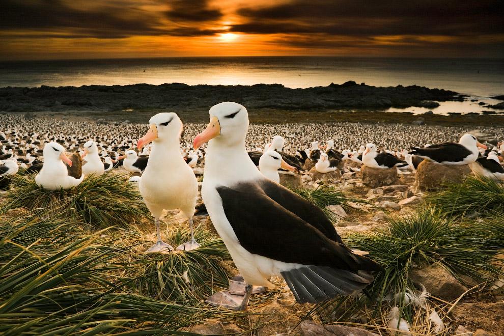 Чернобровые альбатросы на Фолклендских островах, Англия