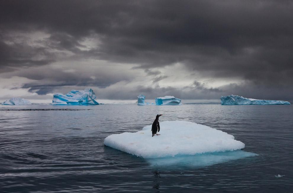 Папуанский пингвин на айсберге в Антарктиде