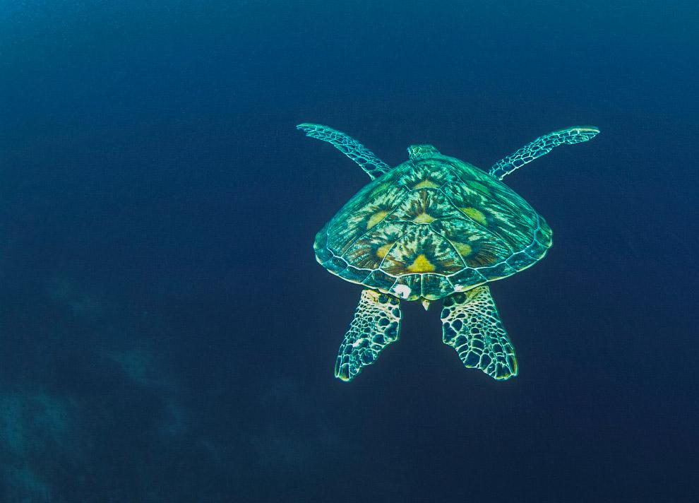 Зелёная морская черепаха Галапагосские острова, Эквадор