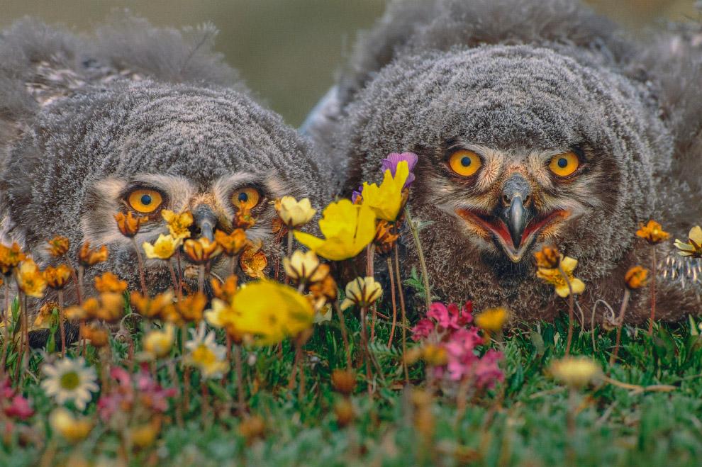 Птенцы белой совы, Аляска, США
