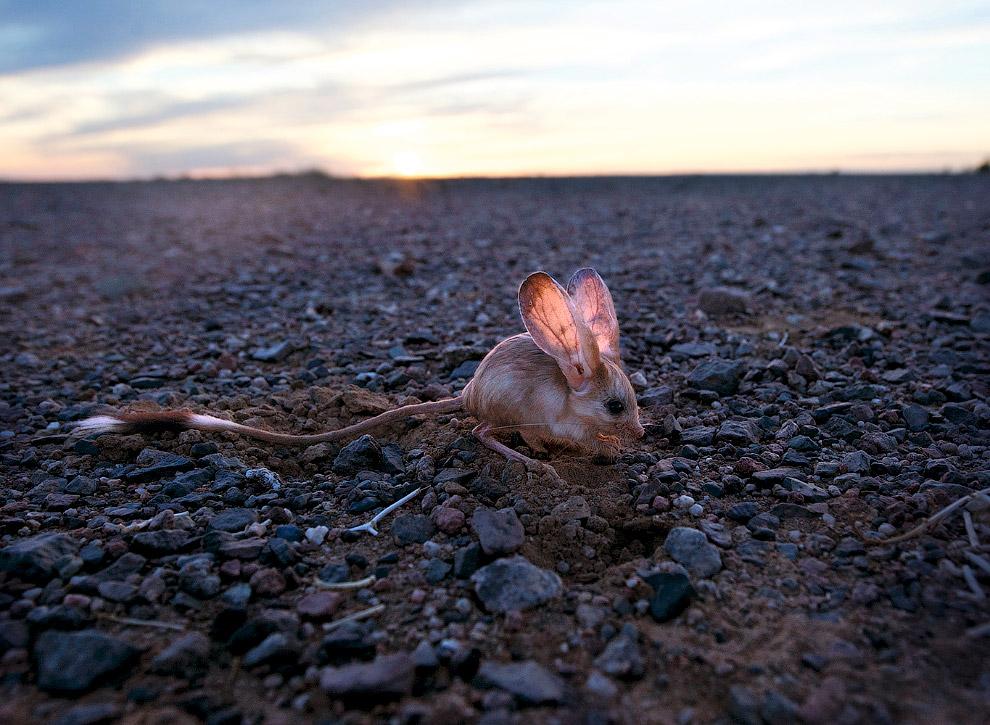 Длинноухое чудо из пустыни Гоби