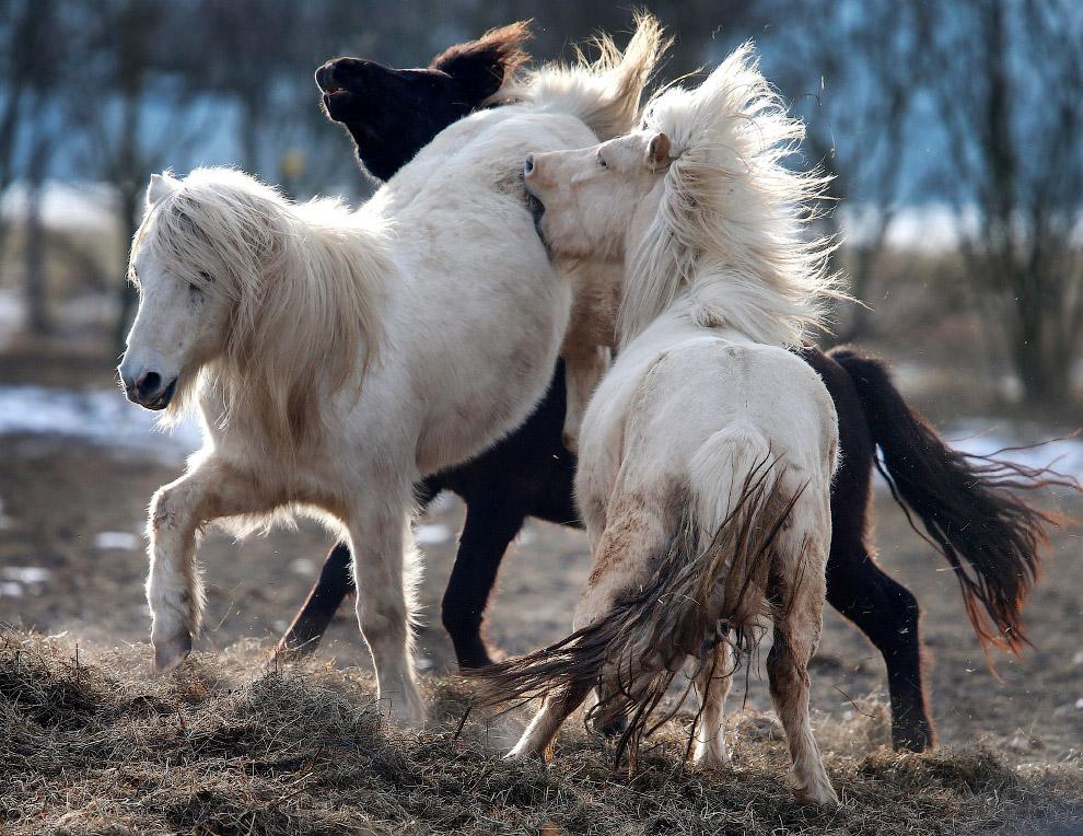 Игры исландских лошадей