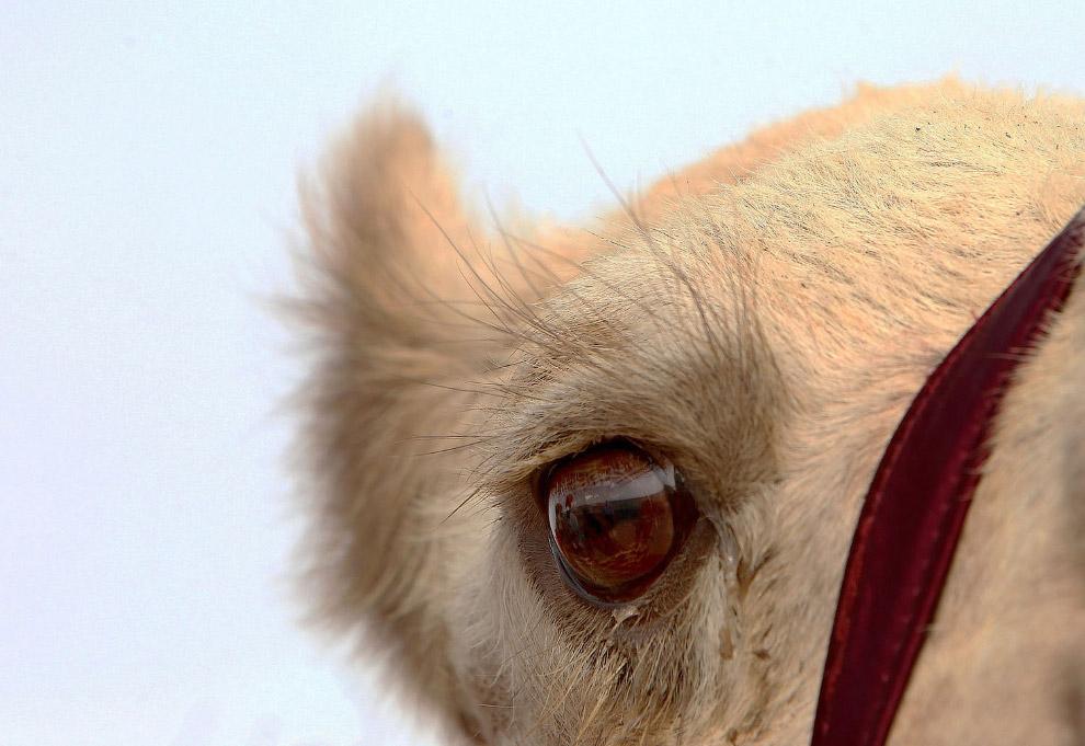 Верблюд недалеко от Кувейта