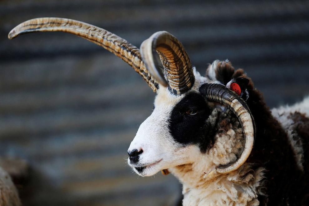 Израильская модная овечка