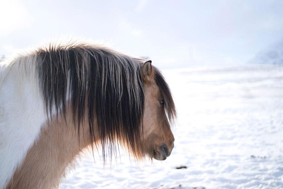 Лошадка в ожидании весны на Лофотенских островах на севере Норвегии