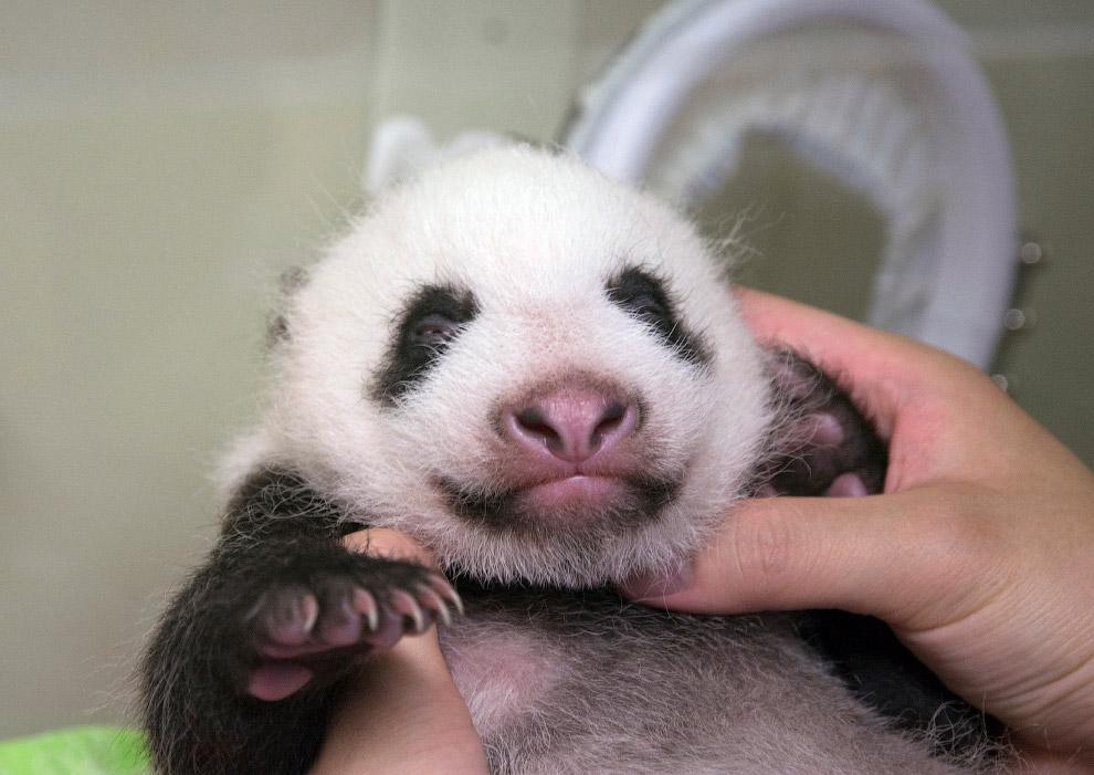 Новорожденная панда в зоопарке в Токио