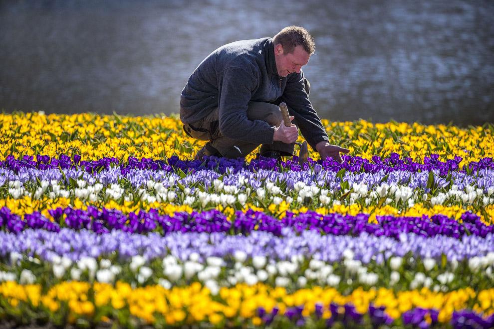 Тюльпановое поле в Лиссе, Нидерланды