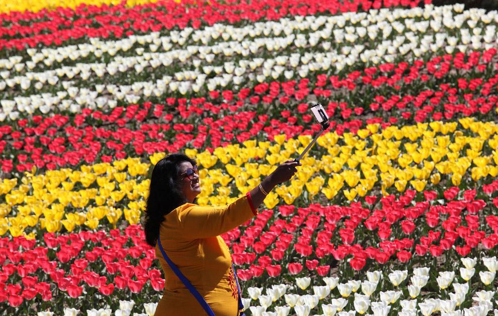 Тюльпаны в штате Джамму и Кашмир на севере Индии