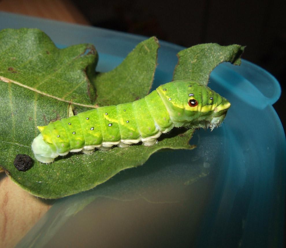 Парусник Маака Papilio maackii