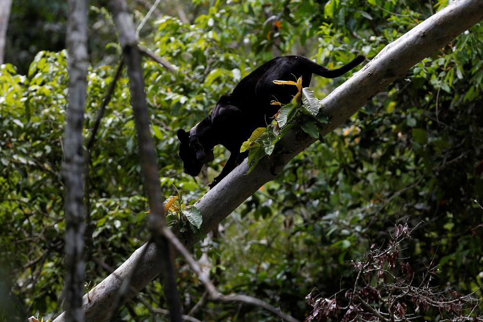 Brazil jaguars find safe haven in rainforest trees