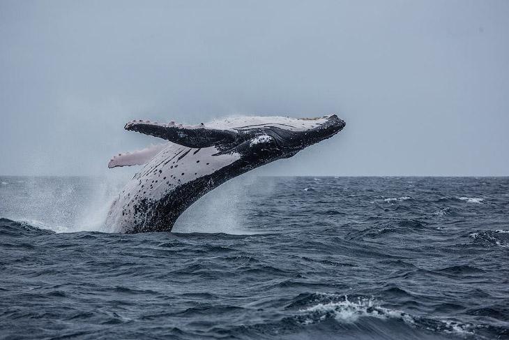 Королевство Тонга и горбатые киты