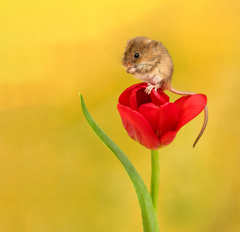 Мыши в тюльпанах