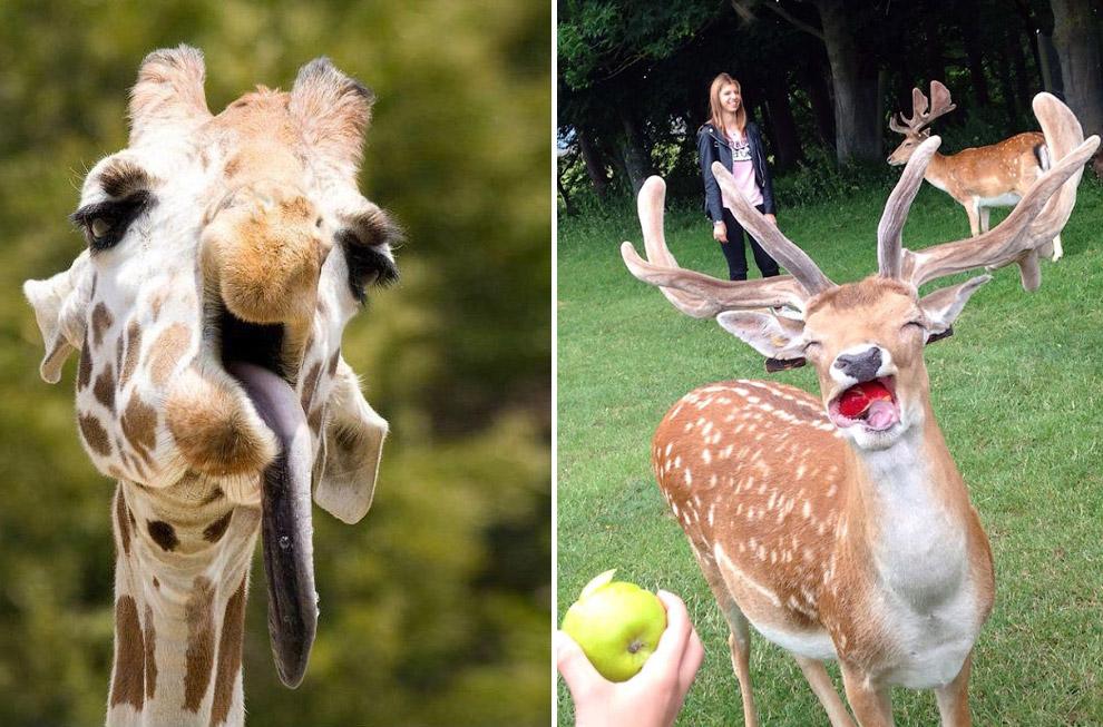 Жираф и олень