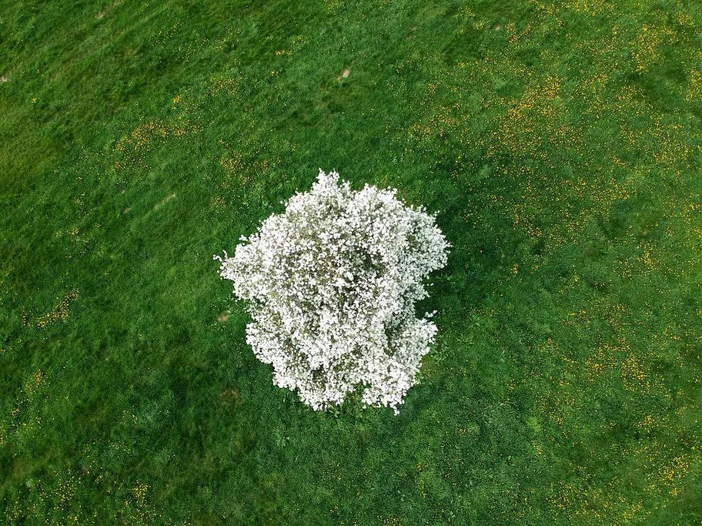 Квітуча яблуня на півночі Франції