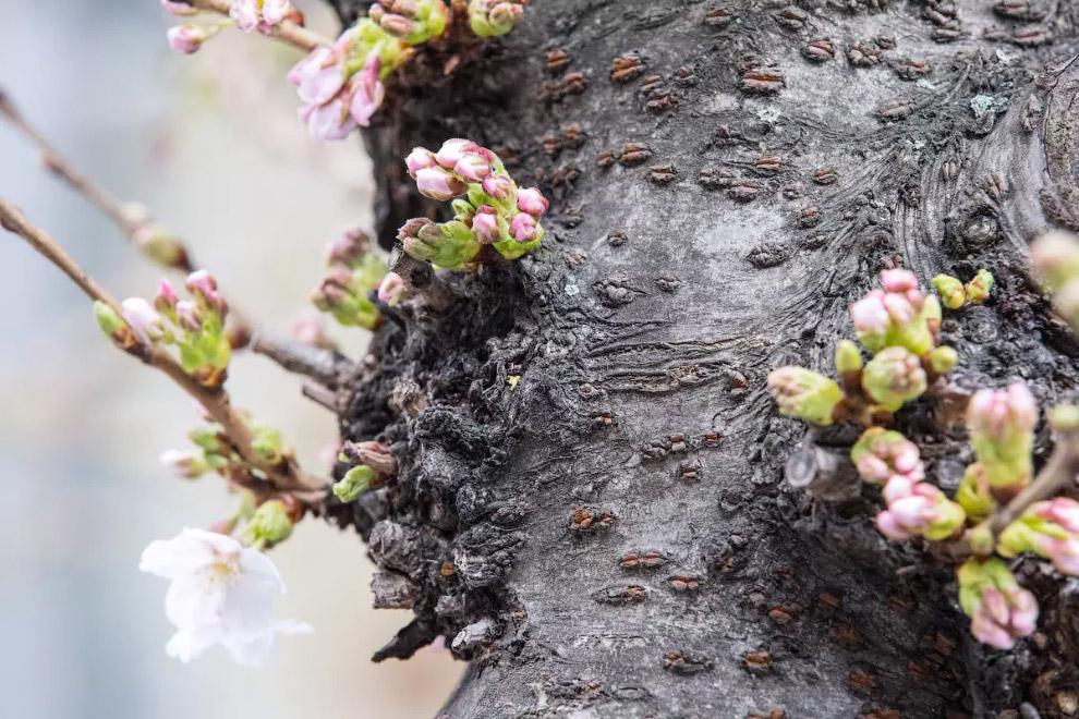 Квітуче вишневе дерево у Франкфурті-на-Майні, Німеччина