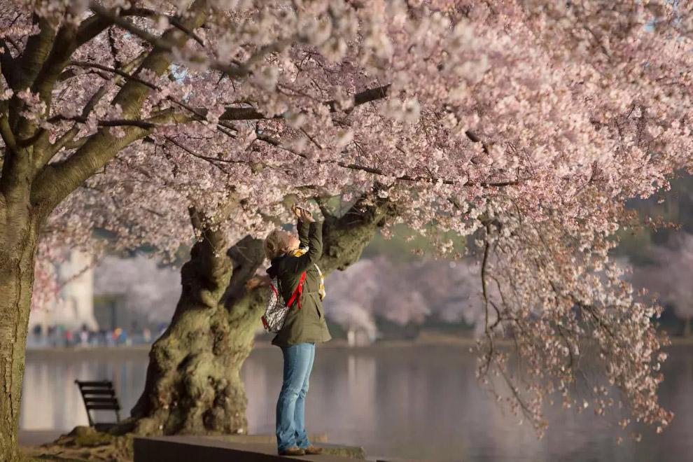 Прийшла весна в Вашингтон, округ Колумбія