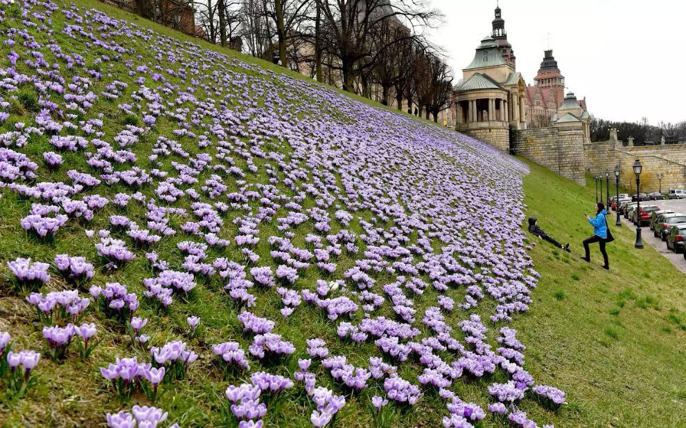 Крокуси розквітли в Польщі