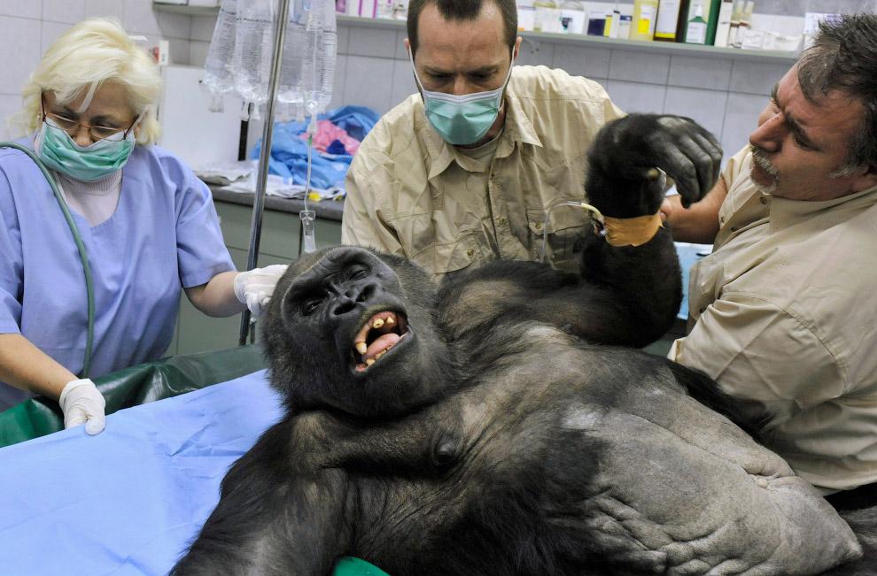 Ветеринары готовят гориллу к удалению опухоли, Будапешт