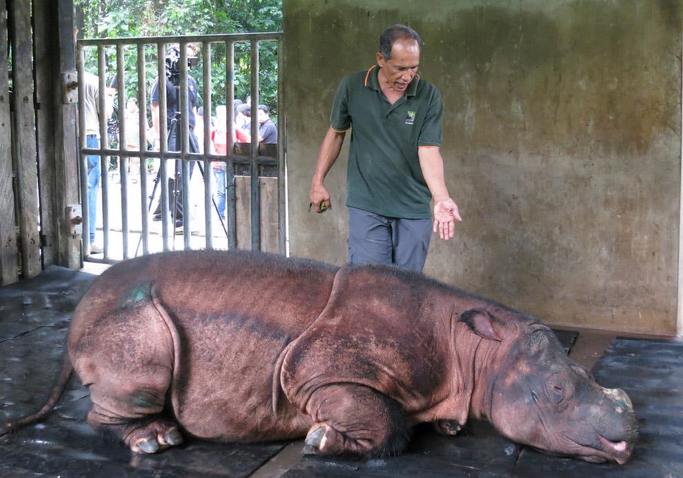 Медосмотр суматранского носорога в Малайзии