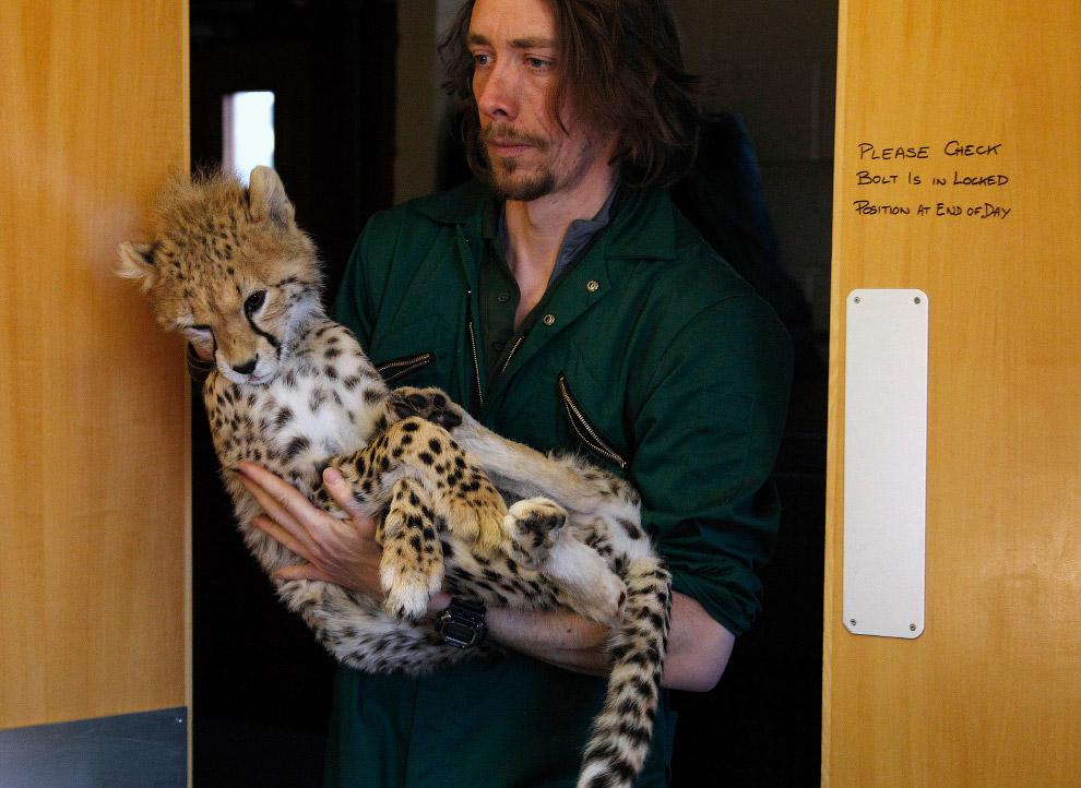 У маленького гепарда перелом правой лодыжки, перенес операцию