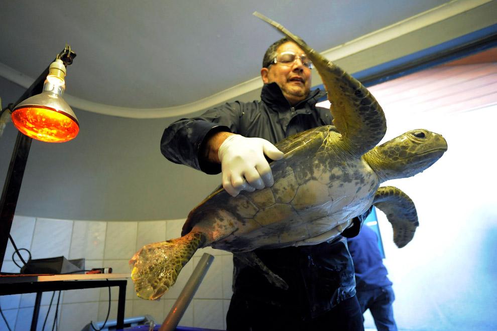 Ветеринар и травмированная зеленая морская черепаха, Чили