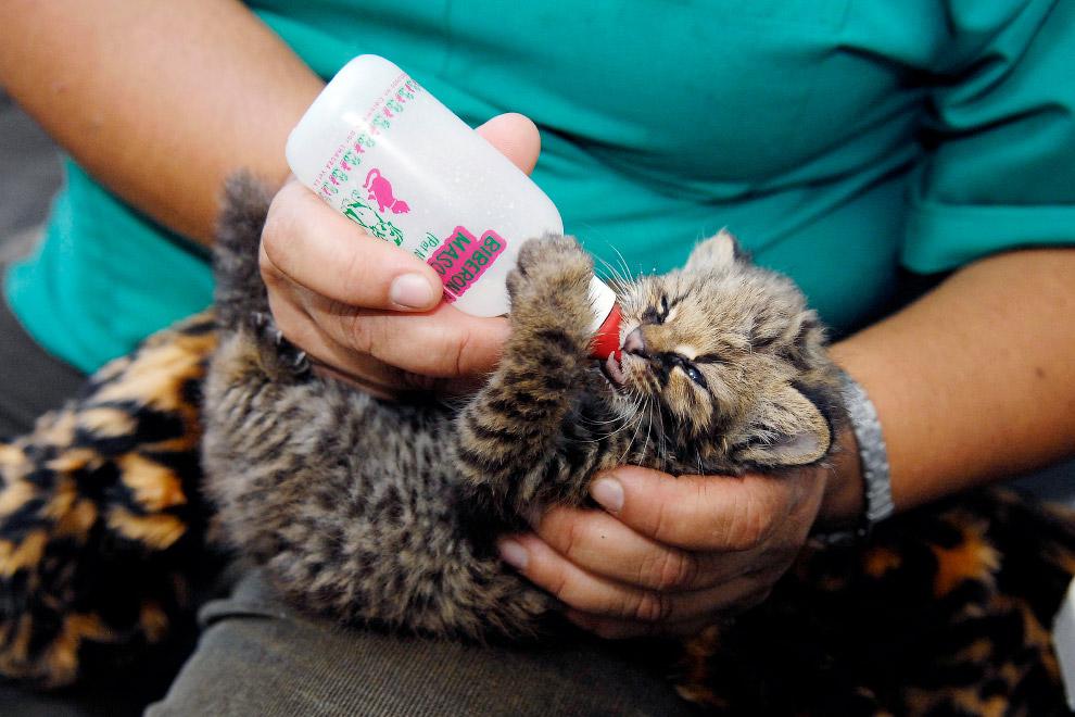 Найденный детеныш чилийской кошки