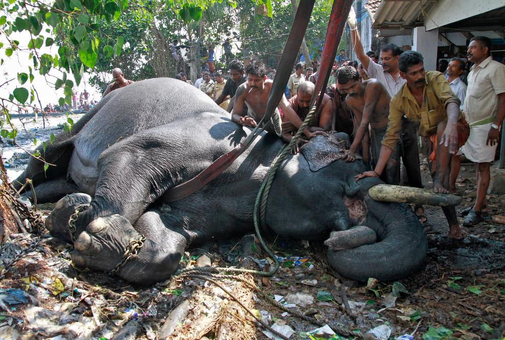 Слона с цепями вытащили из болота на окраине южного индийского города Кочи