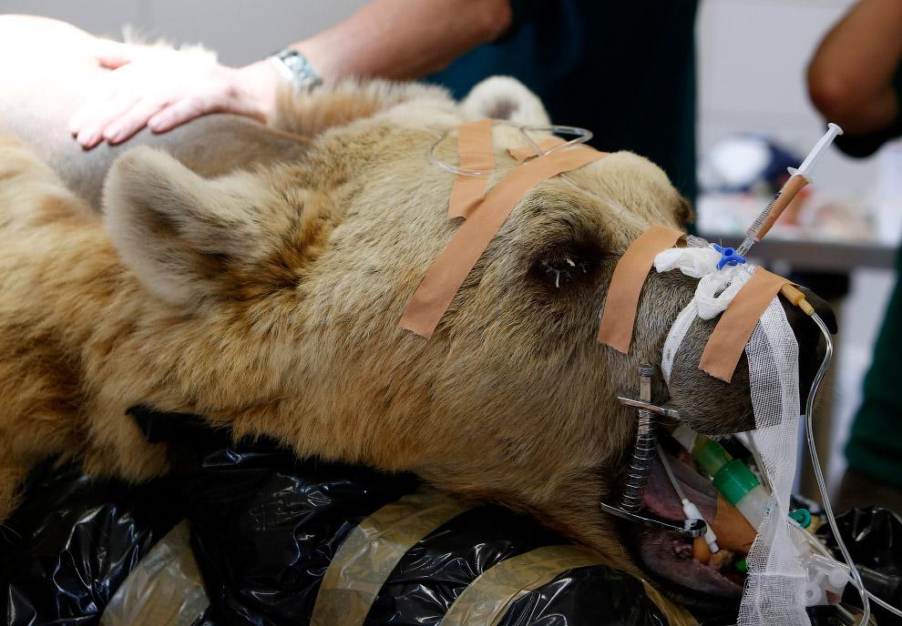 Сирийский бурый медведь готовится к операции