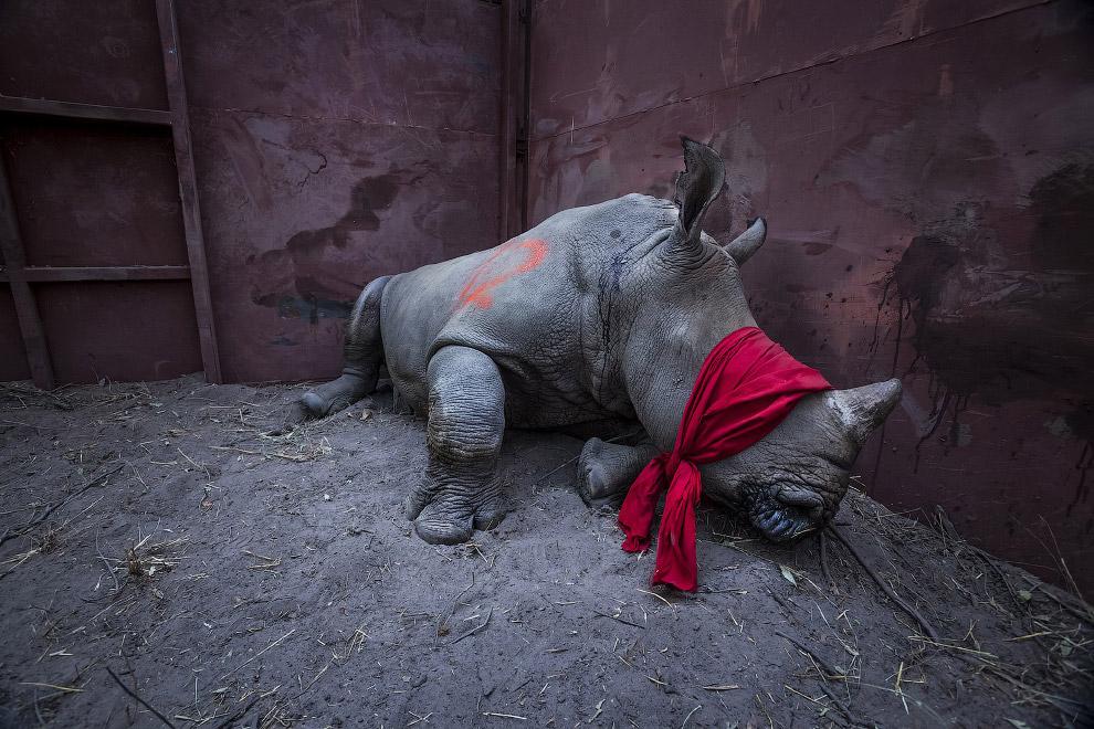 Молодой белый носорог с завязанными глазами, его должны выпустить в дельте Окаванго, Ботсвана, подальше от браконьеров