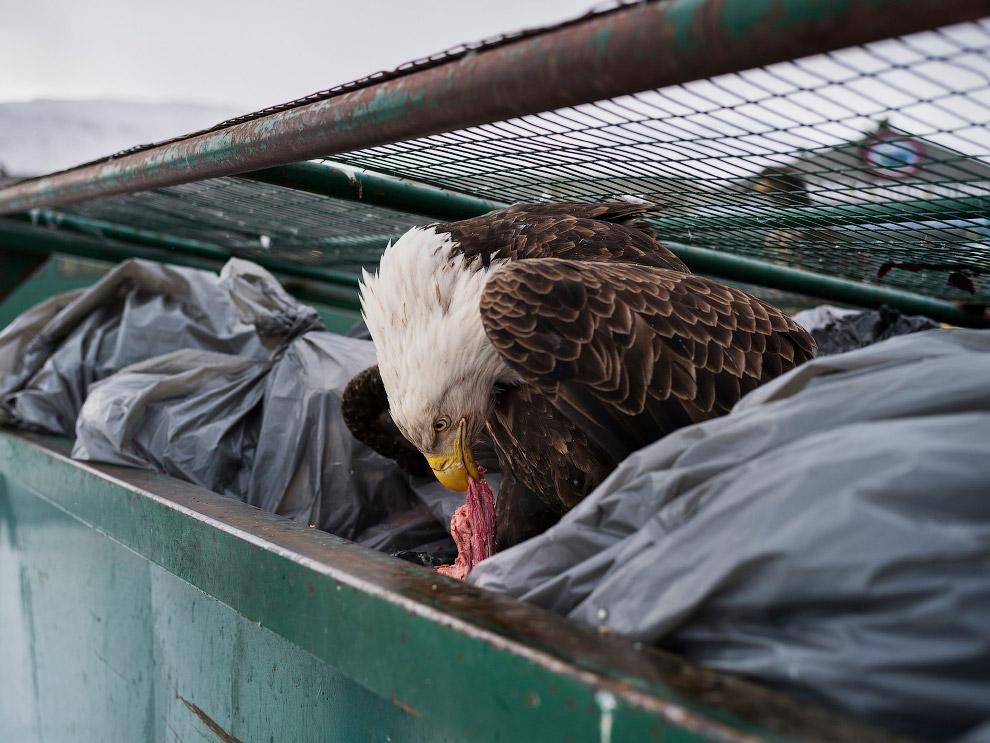 Орел хозяйничает в мусорном контейнере на Аляске