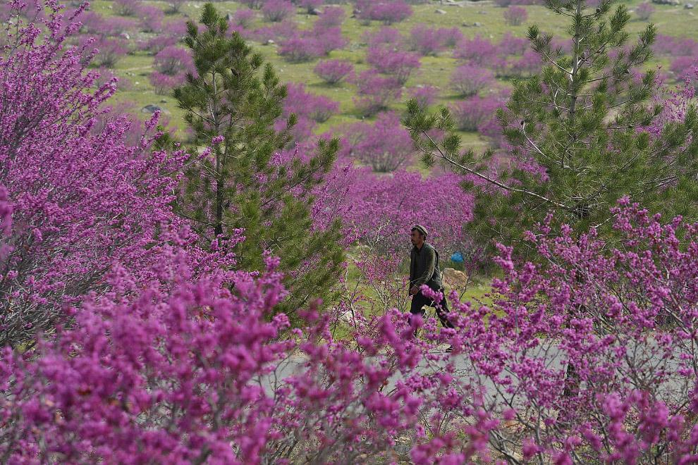 Цветущие деревья на севере от Кабула