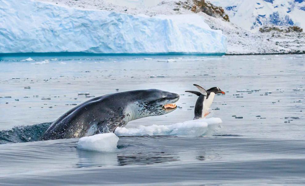 Леопард охотится на пингвина