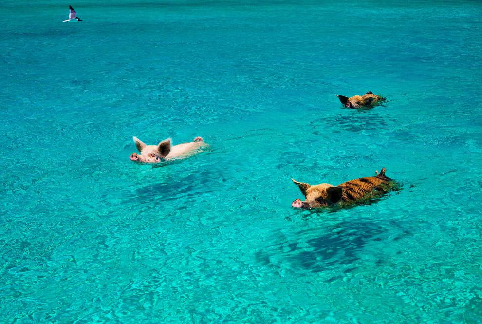 Небольшая колония диких свиней на Багамах любит поплавать
