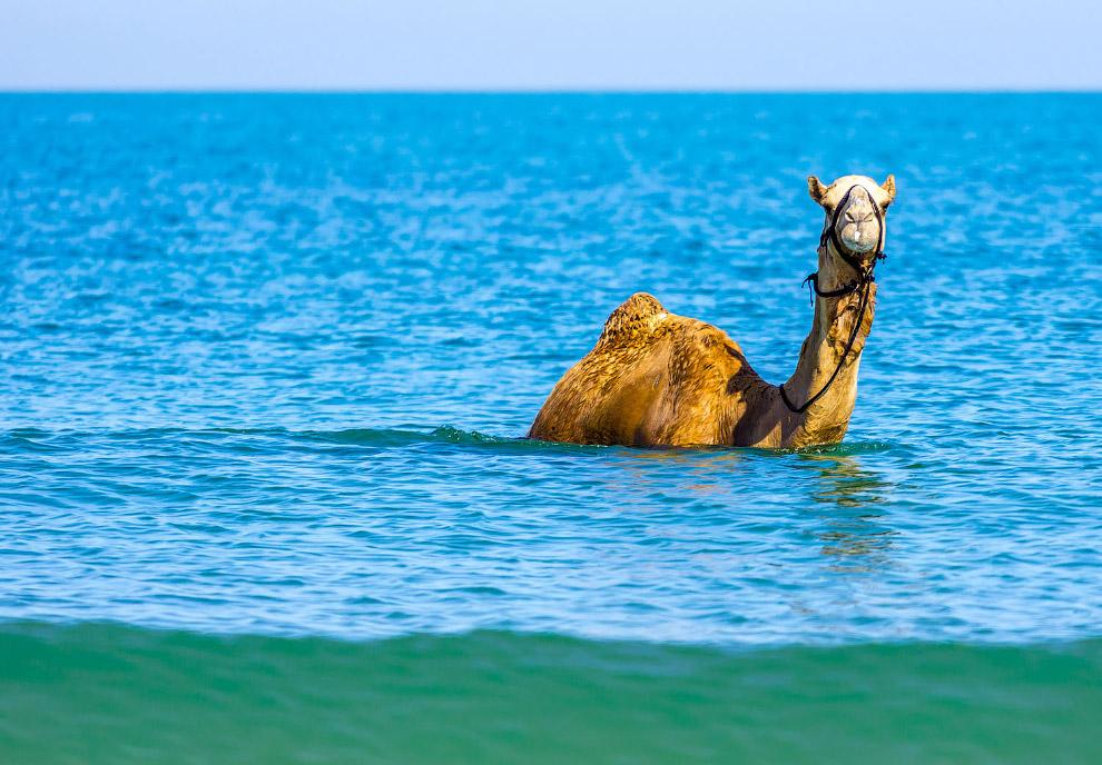 Кто сказал, что верблюды передвигаются лишь по пескам