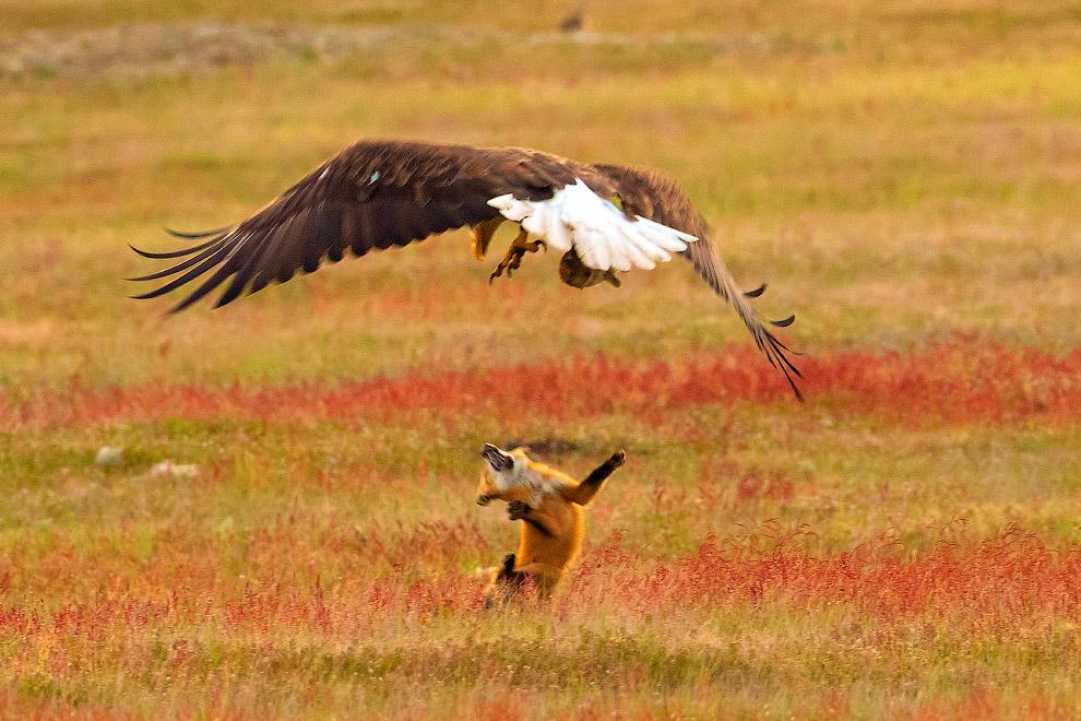 Этичная схватка орла и лисы за кролика