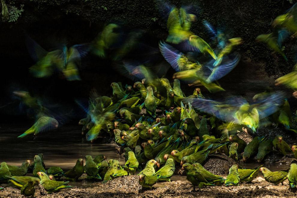 Зграя папуг в національному парку Ясуні, Еквадор