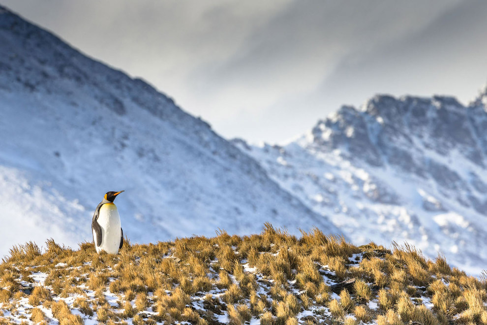 Королевский пингвин в заливе Сент-Эндрюс, остров Южная Георгия