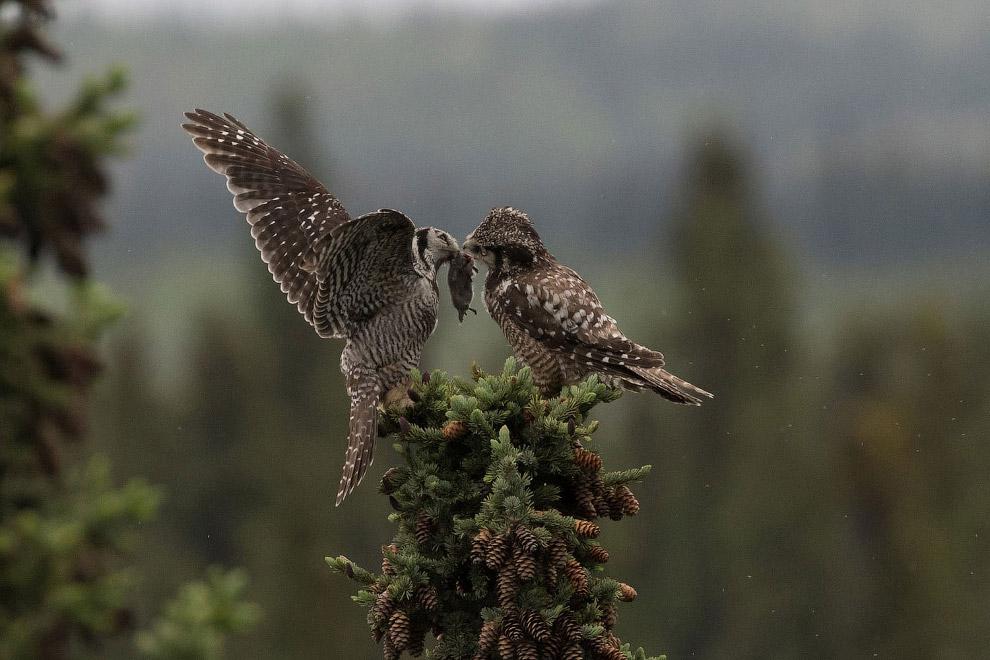 яструбині сови