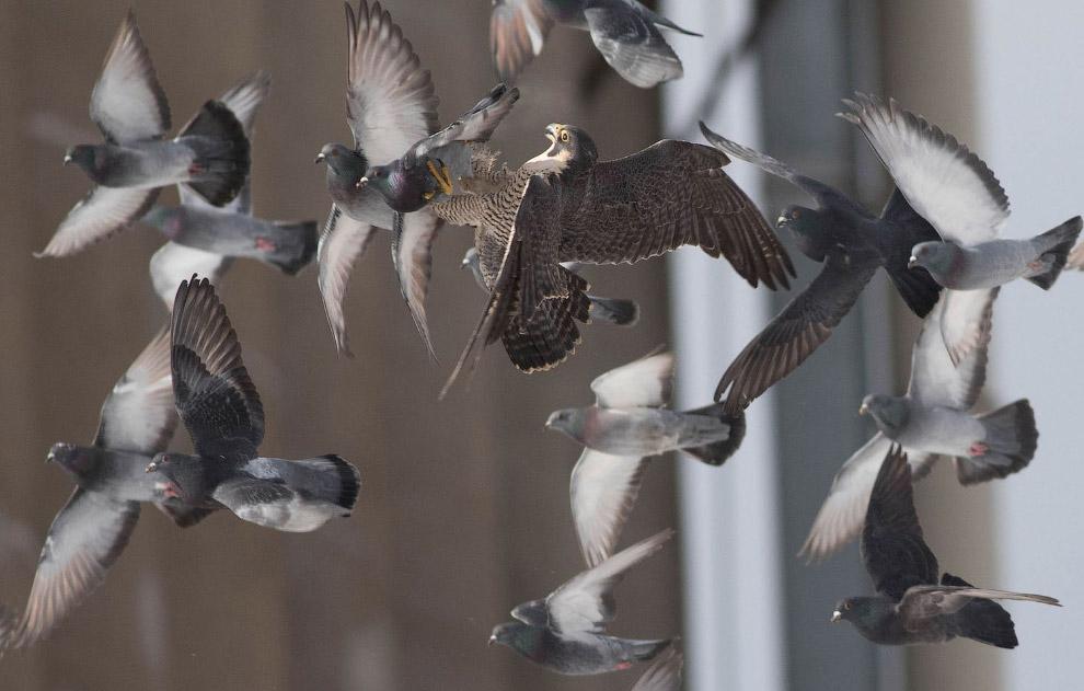 Сокіл-сапсан ловить голубів