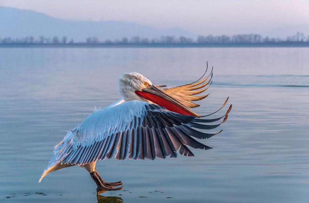 Кучерявий пелікан.  Народна назва - баба-птах