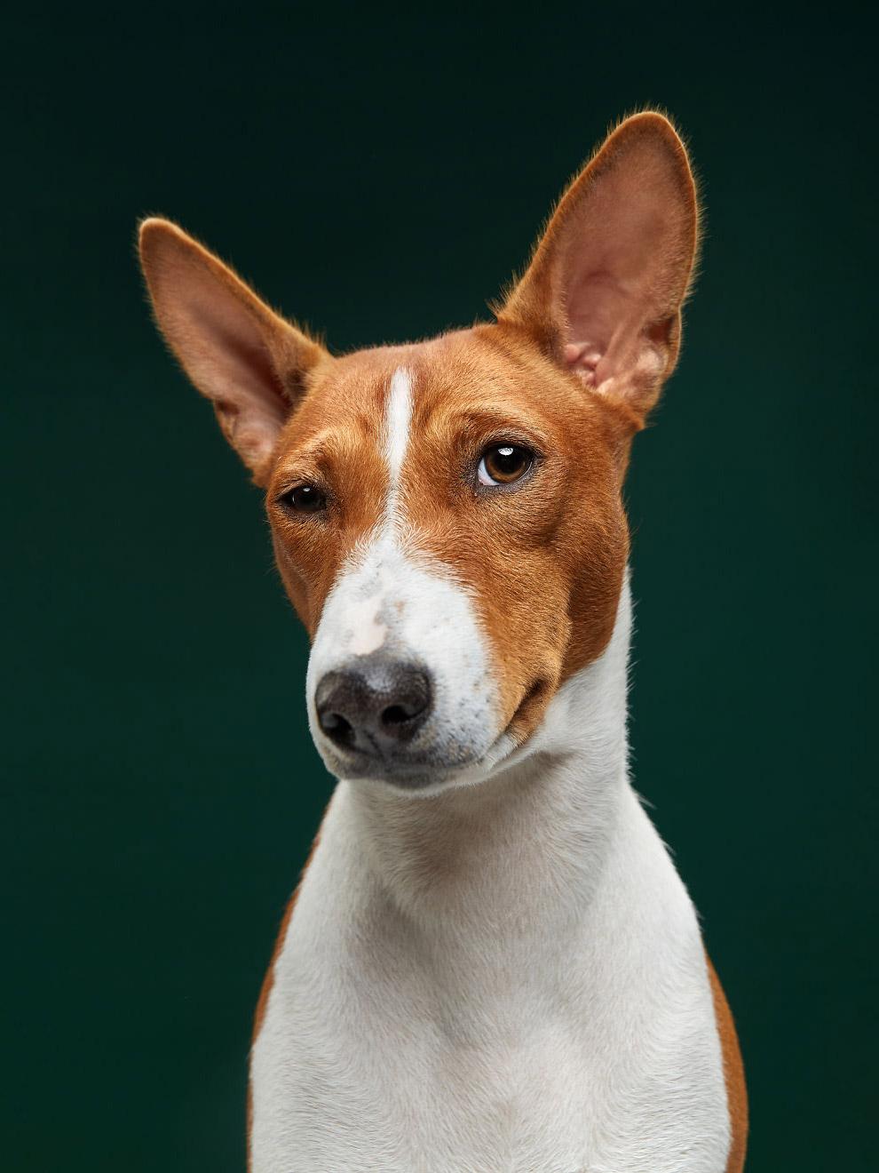 Басенджи — одна из древнейших пород собак