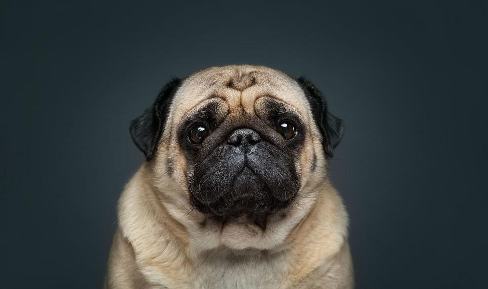 Маленька декоративна собачка мопс