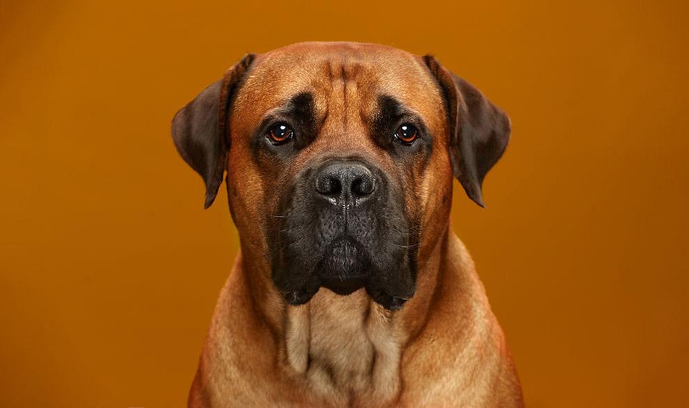 Африканская порода собак Бурбуль